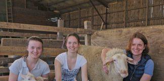 Schaf brachte Fünflinge zur Welt