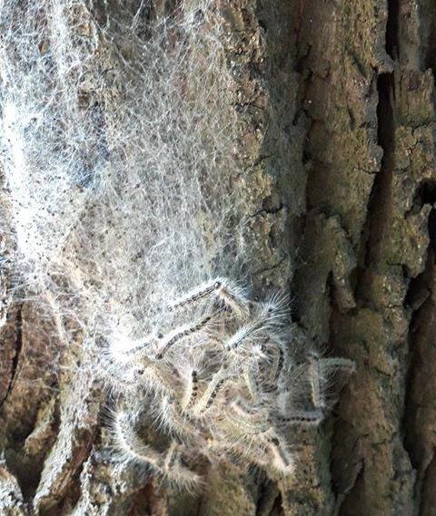 Eichenspinnerprozessions Raupen in Schermbeck