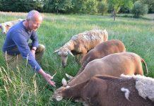 Wolf riss Schafe von Benedikt Hüttemann in Schermbeck