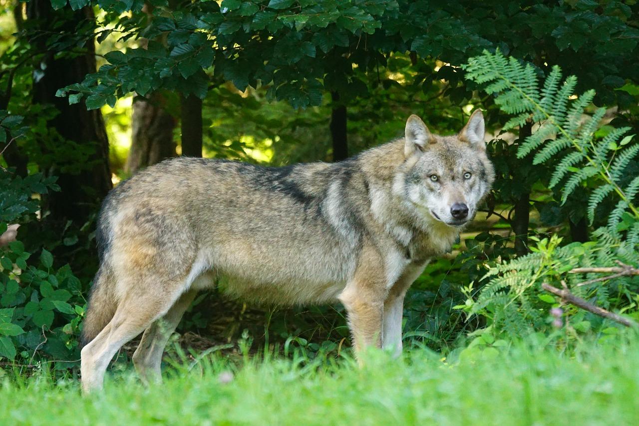 Wolf in NRW
