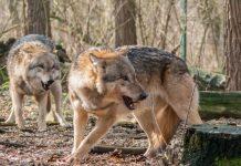 Wölfe in der Gemeinde Schermbeck