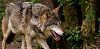 Wolf in Schermbeck (