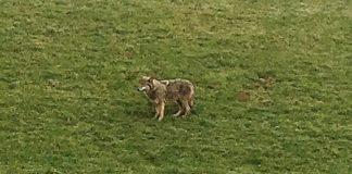 Wolf in Schermbeck