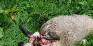 Wolf riss Schaf in Schermbeck
