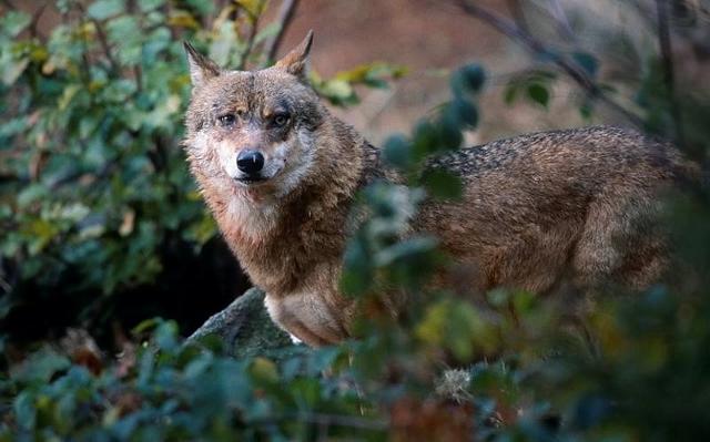 Wolf riss Schaffe in Schermbeck-Gahlen
