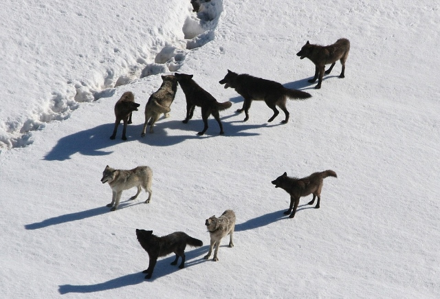 Wolfrudel