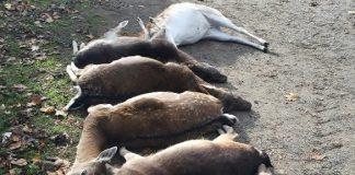 Wolf riss Dammwild in Dinslaken