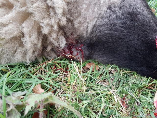Schafe mit Kehlbiss in Bottrop Kirchhellen gefunden