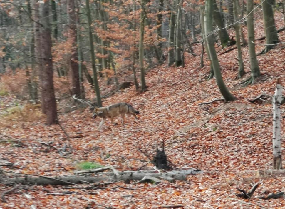 Wolf im Kreis Wesel Erste Fotos von Gloria