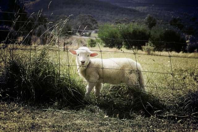 schutz für Schafherden vor dem Wolf