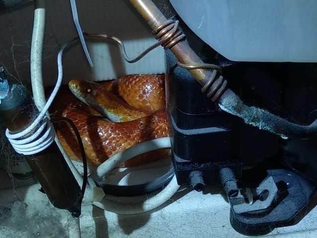 Schlange in Küche versteckt