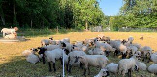 Wolf-Schermbeck-Gloria-hat-sechs-Schafe-gerisen