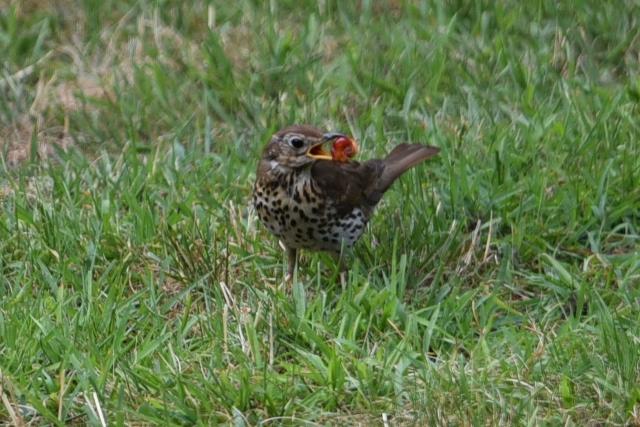 Vogel mit Kirschen im Schnabel