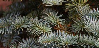 Weihnachtsbaum Schermbeck