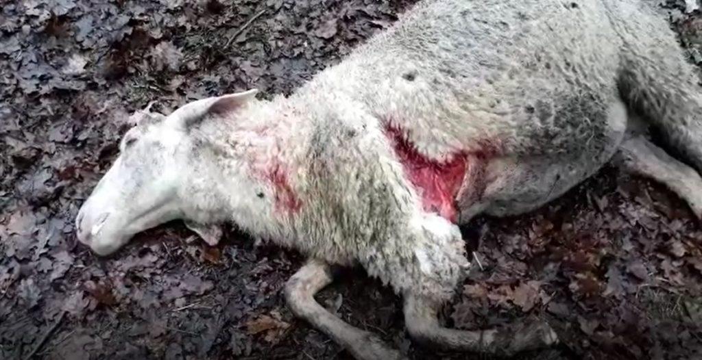 Gloria von Wesel riss wieder Schafe