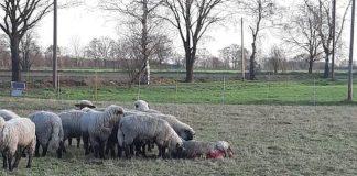 Schaf gerissen in Schwarze Heide