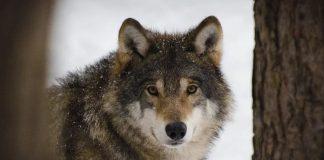 Der Wolf kommt nach Dorsten