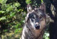 Weiterer Wolf im Wolfsgebiet Schermbeck