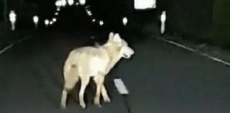Weitere Nachweise im Wolfsgebiet Schermbeck