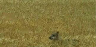 Wolf oder Wölfin in der Kirchheller Heide