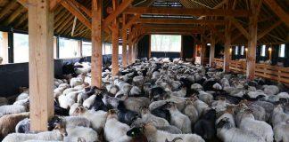 Schutz-vor-dem-Wolf-Schafe-im-Stall-Schermbeck