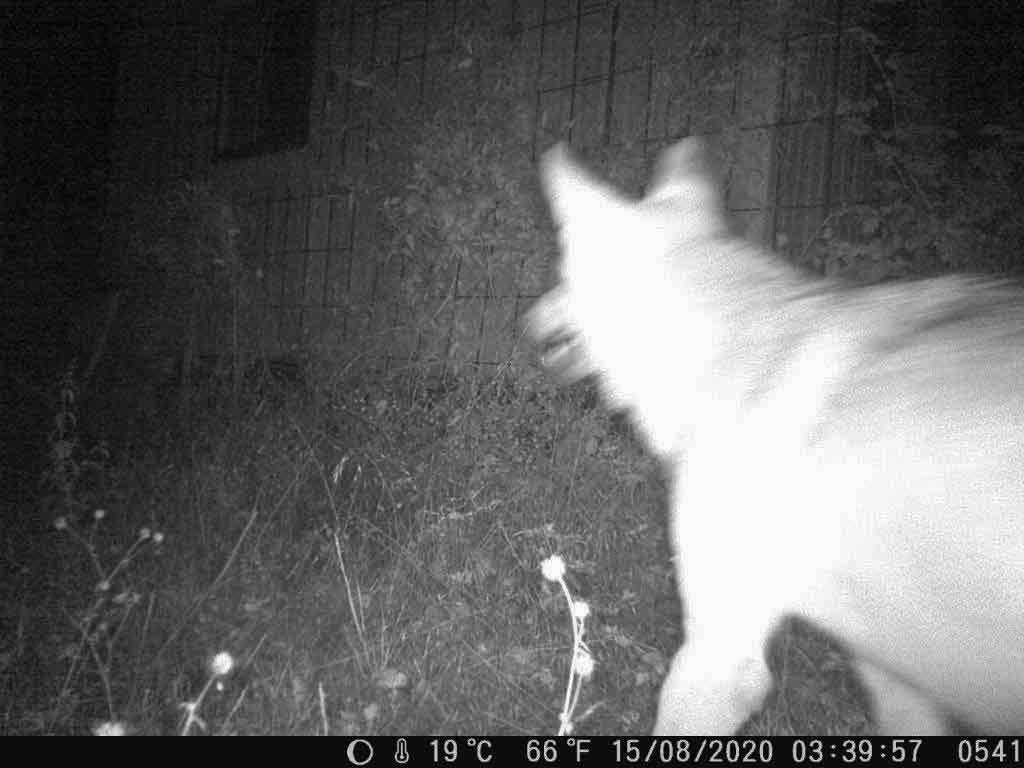Wölfin-Gloria-von-Wesel-wolfsgebiet-Schermbeck