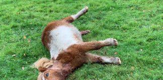 Wolfsriss-Pony-Kirchhellen