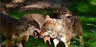 Wölfe Wolfsgebiet Schermbeck Gloria