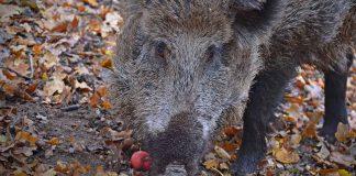 wildschwein-