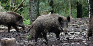 Wildschweine Hünxer wald