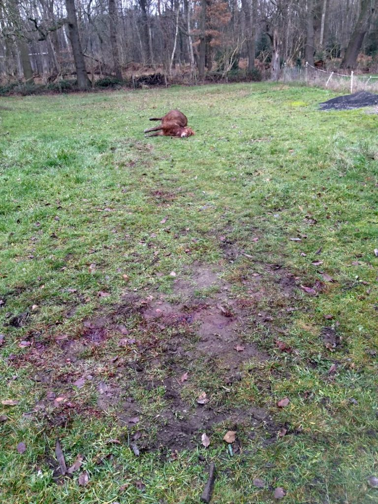 Wolf in Schermbeck reisst Shetlandpony Pony