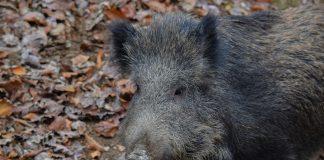 wildschweine hünxe