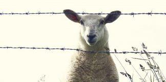 Herdenschutz Schafe