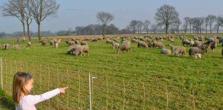 Schafe-auf-Wiese-Schutz-vor-dem-Wolf