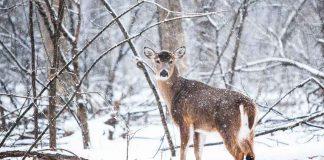 Waldtiere-im-Schnee-gestresst