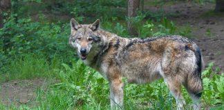 Wolf-Schermbeck-Gloria-von-Wesel