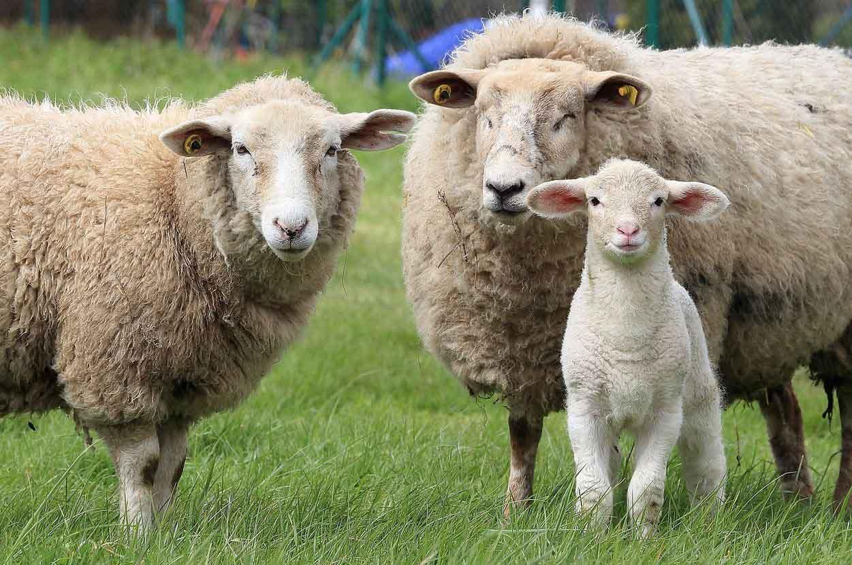 Für-Schafhaltung-CDU-und-FDP-Landtag-NRW
