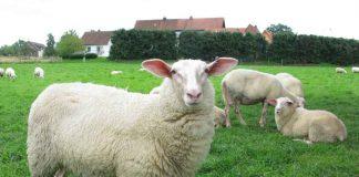 Lippe-Schafe