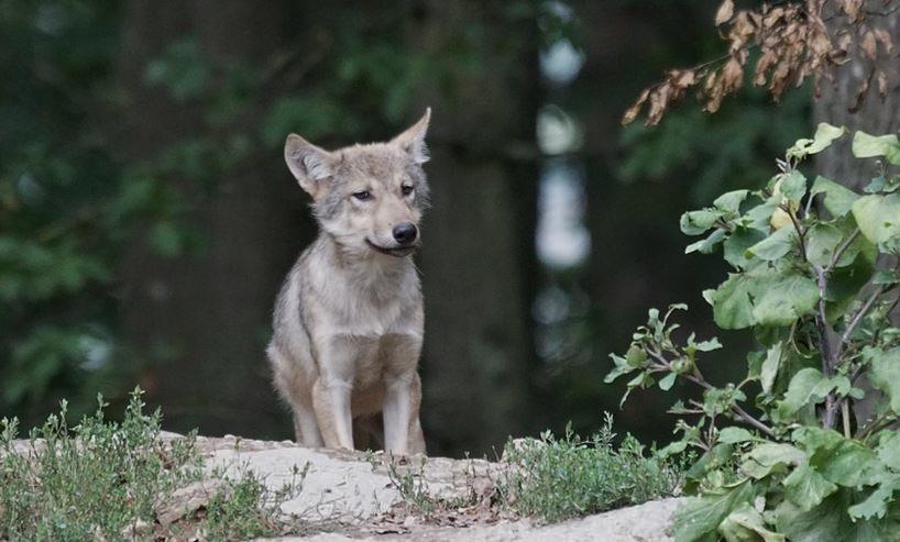 Wolfwelpe Gloria von Wesel Hünxe Schermbeck