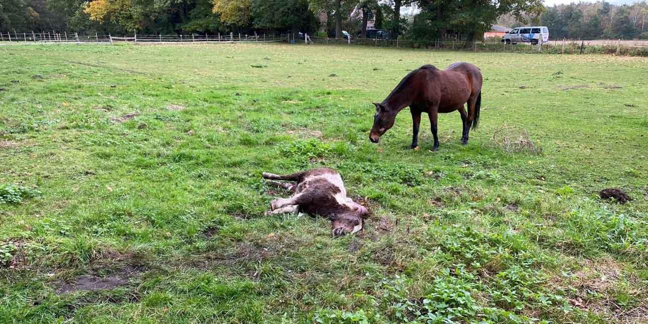 Pferd vom Wolf gerissen in Hünxe